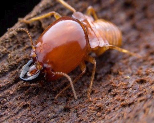 termitas hongos