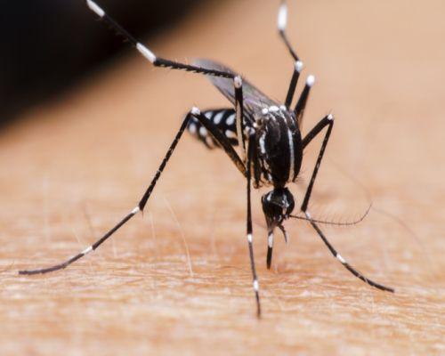 moscas mosquitos