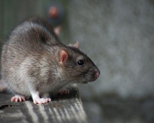 roedores ratas ratones