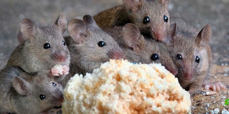 evitar roedores hogar