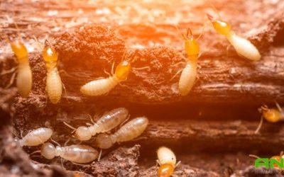 Plagas de la madera: termitas y hongos