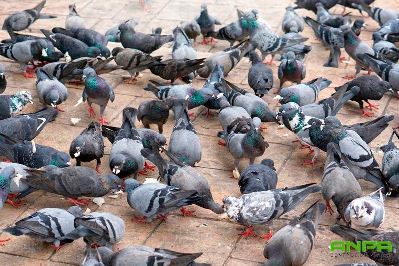 plagas de palomas en murcia